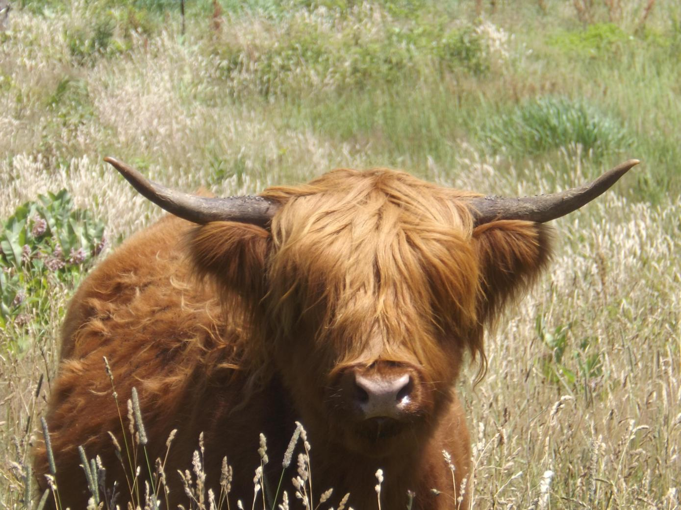 dolly-the-highland-cow_9270548851_o